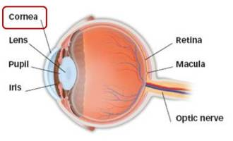 anatomy cornea