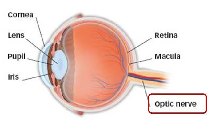 Anatomy Optic Nerve Eye Physicians Of Washington