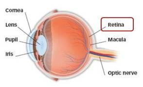 anatomy retina